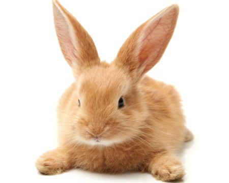 Super cute orange rabbit laying on tummy on white background