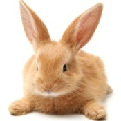 Super cute orange rabbit laying on tummy on white background