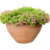 Plant with pink flowers in a large terra-cotta pot