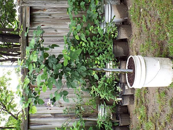 Black Satin blackberry plant