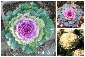 Growing Ornamental Kale