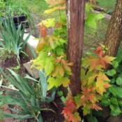 fall colors on maple tree water spouts in May