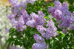 Rooting Lilac Bushes