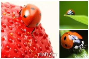 Feeding and Caring for Pet Ladybugs