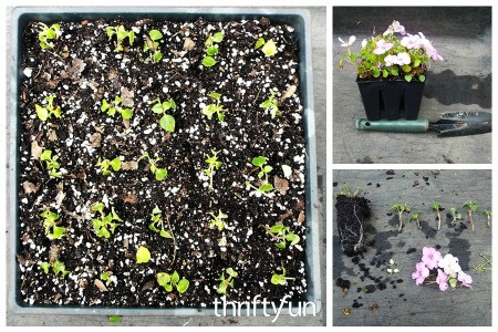 Rooting Impatients Cuttings