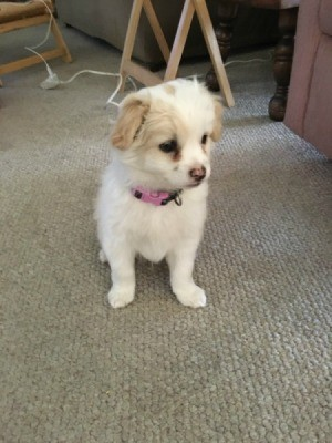 white puppy with yellowish ears