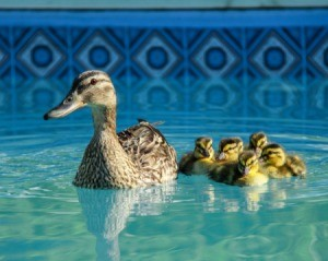 Mother duck in ducklings in a swimming pool