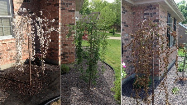 Question Weeping Cherry Leaves Turning Yellow