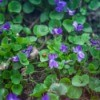 Wild Violets growing soil