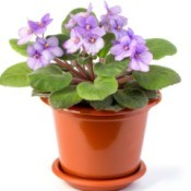 Pot of purple African Violets against a white background