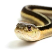 Garter Snake on a White Background
