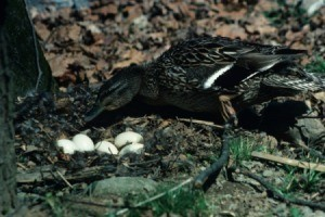 Mallard Duck Tending Nest of Eggs