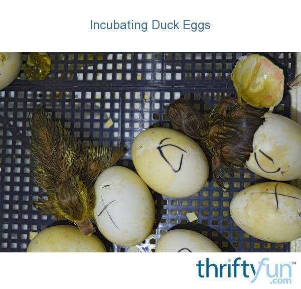 From Midnight To Duck Egg See: Incubating Duck Eggs