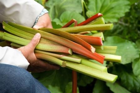 Hands holding freshly picked rhubarb stalks
