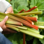 Hands holding freshly picked rhubarb stalks
