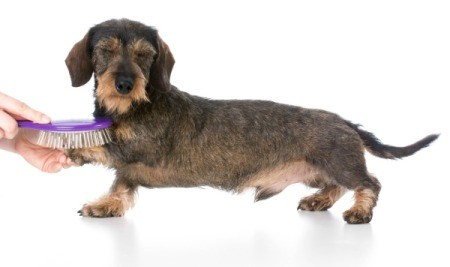 Short haired dachshund getting his hair brushed