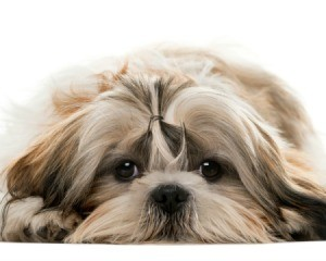 Shih Tzu laying on belly with chin on the ground looking at the camera.
