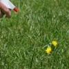Hand spraying a dandelion in a lawn with a spray bottle