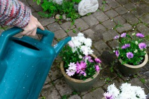 Flowers in pots on the patio being watered with a watering can.