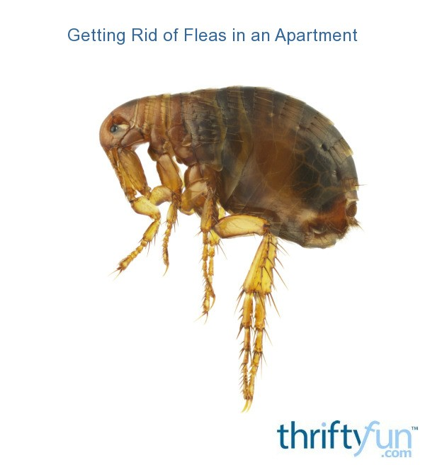 Get An Apartment: Getting Rid Of Fleas In An Apartment