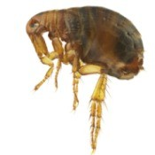 Magnified flea against a white background