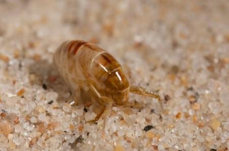 Sand Flea on sand