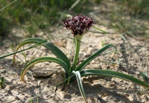 Wild Onion plant in bloom