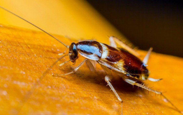 Apartment Building Has Roaches getting rid of cockroaches in an apartment   thriftyfun