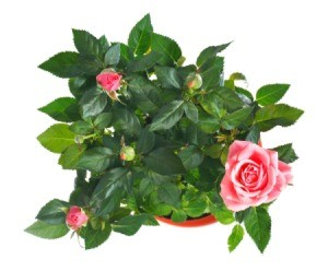 View from above of a rose bush in a flower pot