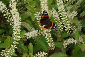 Butterfly In The Butterfly Bush