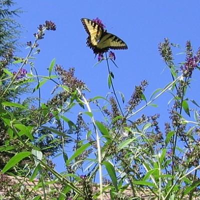 Garden: Monarch on Butterfly Bush