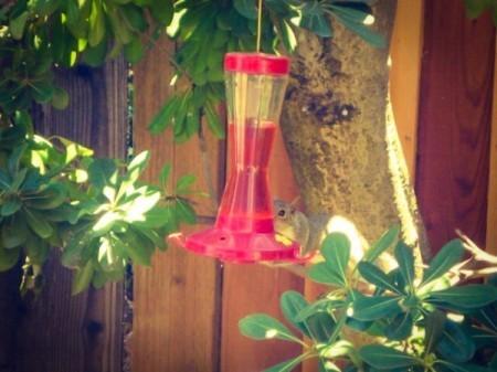 Squirrel on hummingbird feeder