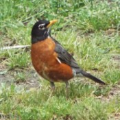 closeup of a robin
