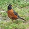closeup of a robin