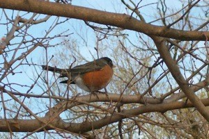 Robin on tree branch