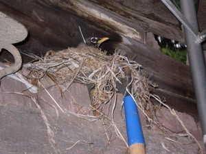 robin in nest