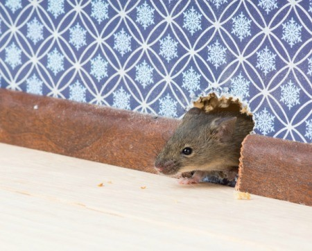 Mouse hole in wall with a mouse peeking out