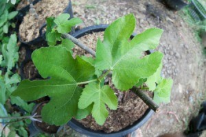 Fig Tree in a pot viewed from above