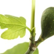 Branch with a green fig and some young leaves against a white background