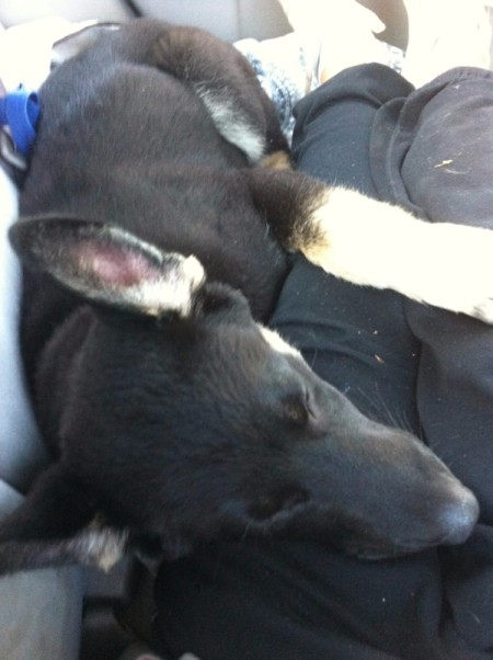 black dog laying on owner's lap