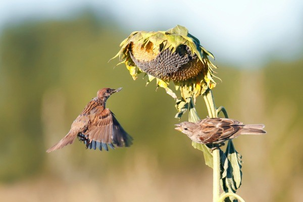 Charmant Sparrows Taking The Seeds From A Sunflower. This Is A Guide About Keep  Birds Out Of The Garden.
