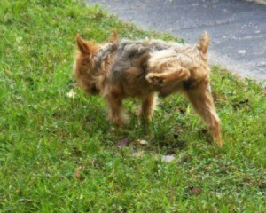 Yorkshire Terrier peeing on grass