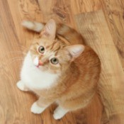 Orange tabby cat on wooden floor looking up