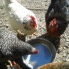 chickens drinking from a bowl of water