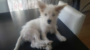 small wiry haired white dog with ears up