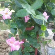 pink flowering plant - probably mandevilla