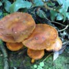 South African mushrooms