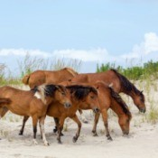Assateague Wild Ponies on a beach
