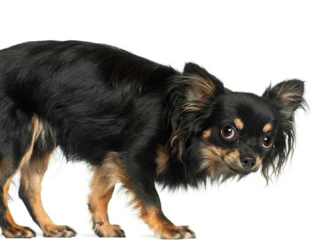 Scared Chihuahua against a white background