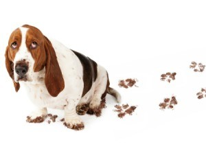 Guilty Basset Hound with muddy feet and a trail of muddy paw prints